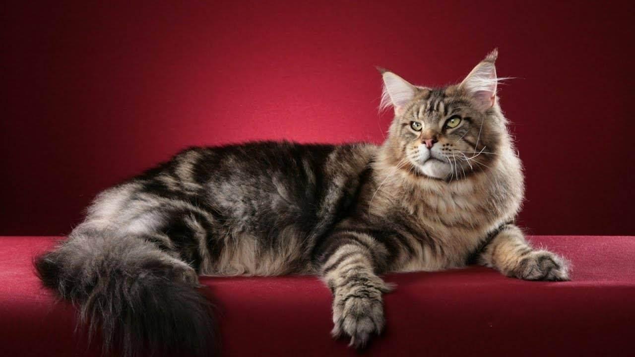 Самые крупные кошки