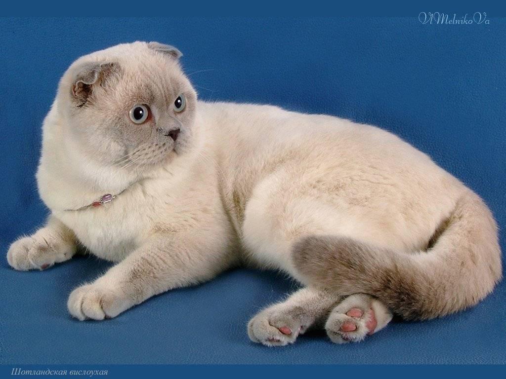 Сиамская кошка - описание породы и характера