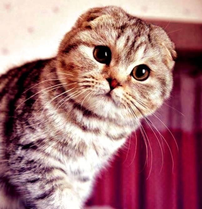 Черный вислоухий кот (25 фото): уход за черными котятами породы скоттиш-фолд, питание шотландцев, особенности породы