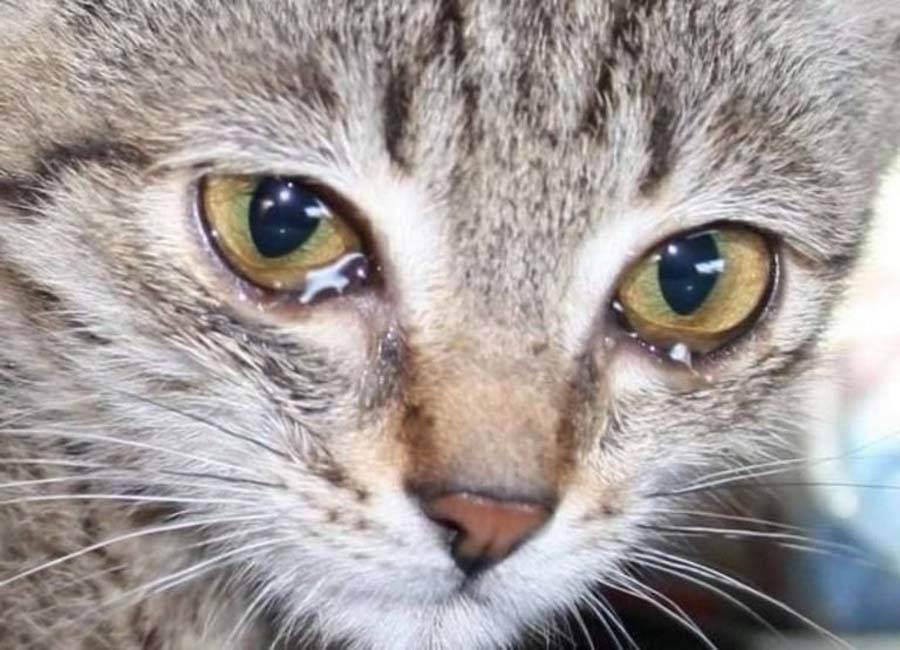 Если у котенка слезятся глаза: основные причины и что делать
