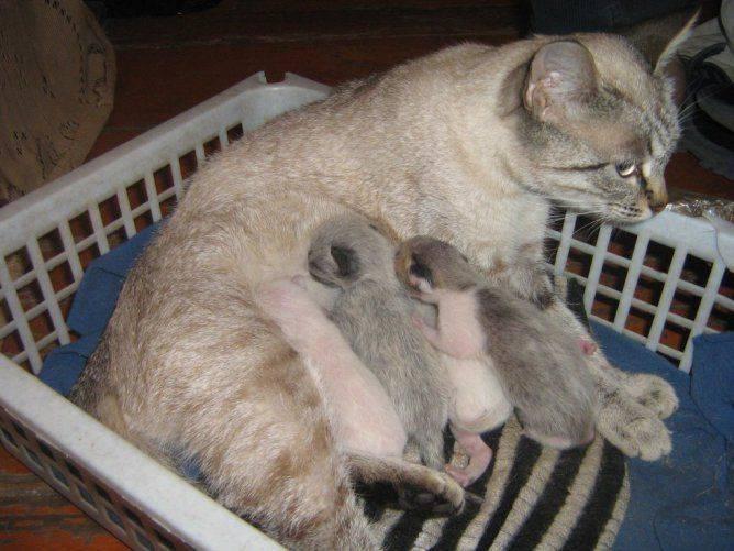 Сколько кошка кормит котят молоком: до какого возраста и как долго?