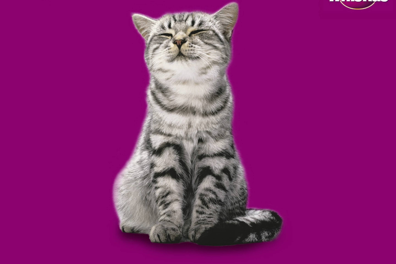Какая порода кошек снимается в рекламе. порода кошек из рекламы «вискас. окрас британских кошек - медицина для тебя