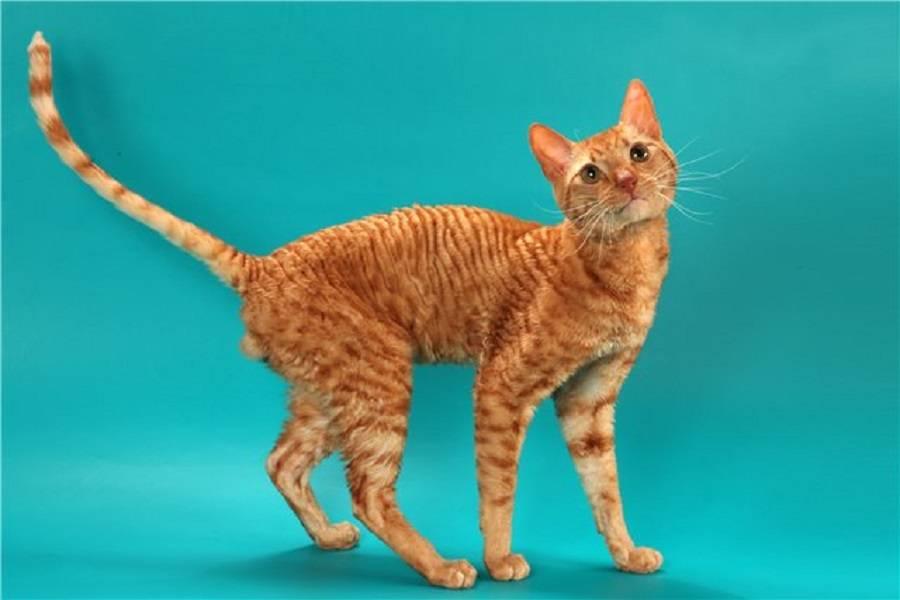 Породы кудрявых кошек: фото, список, интересные факты