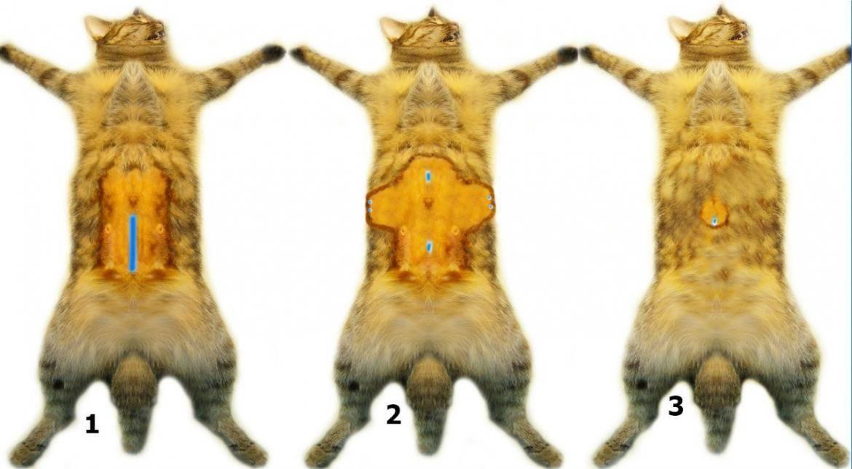 Течка у кошки: признаки, сколько дней, как долго, как проходит