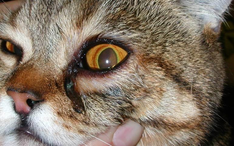 У котенка слезятся глаза: причины, что делать, чем лечить в домашних условиях?