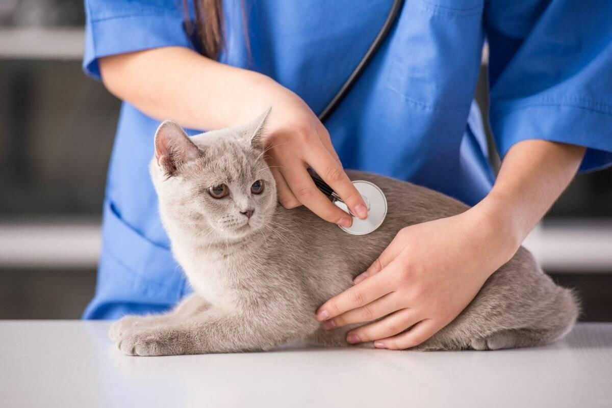 Почему кошка дышит часто: животом, высовывает язык