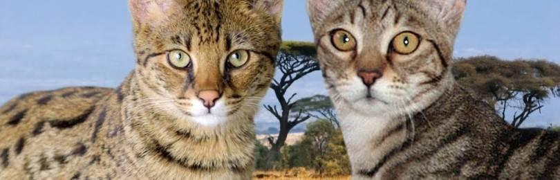 Серенгети (36 фото): описание породы кошек. особенности характера котов. условия содержания котят