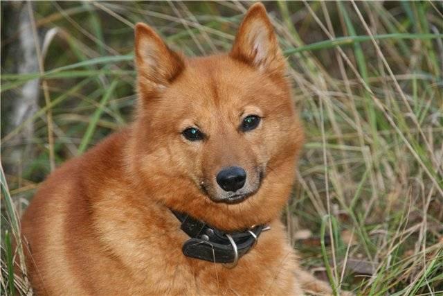 Отважный и независимый друг рыжего оттенка: характеристика породы финский шпиц