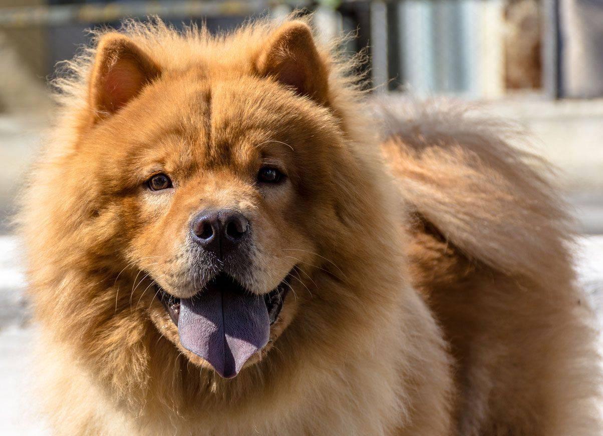 Что вам нужно знать о синдроме свисающего языка у собак - советы для домашних животных 2021