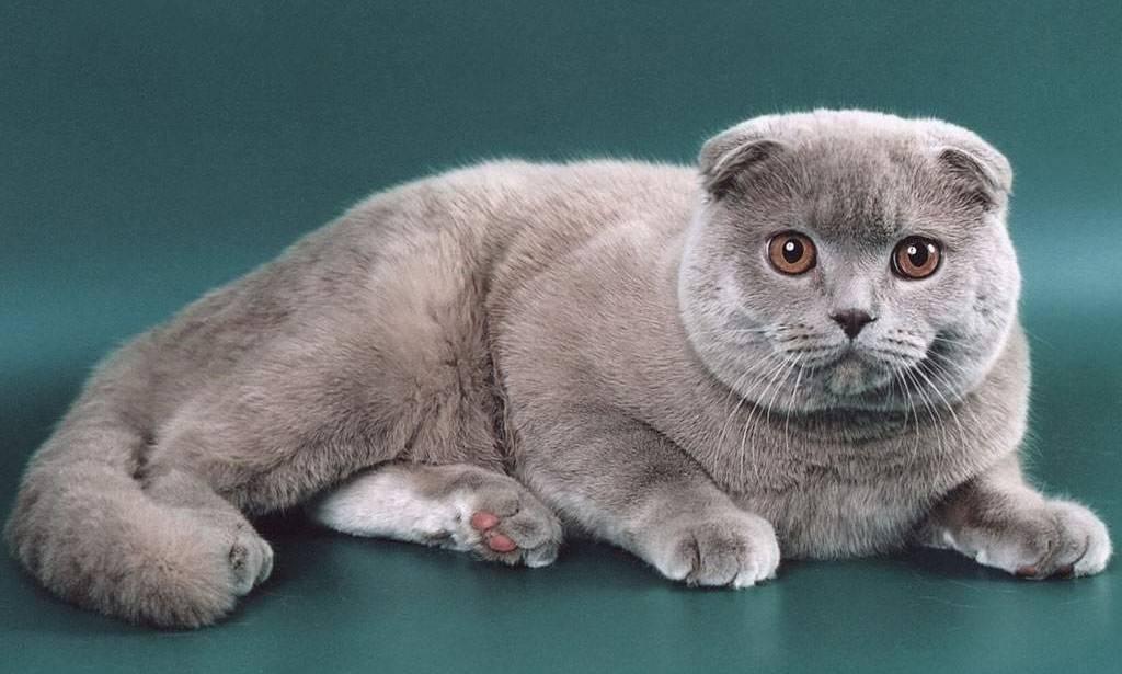 Лиловая шотландская вислоухая кошка (15 фото): особенности окраса, характеристика породы, содержание