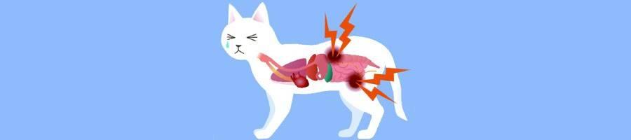 Пиелонефрит у кота лечение