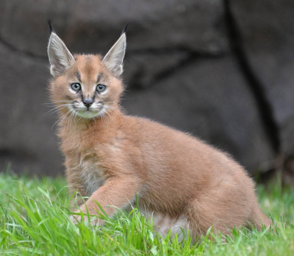 Порода кошки похожая на рысь: отличительные особенности