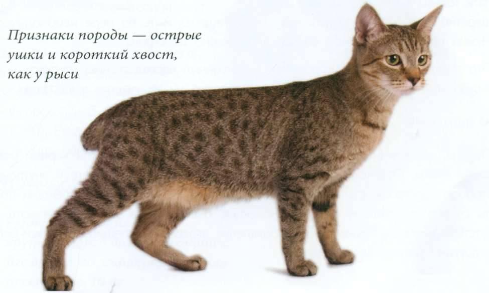 Домашняя порода кошек рысь: излагаем суть