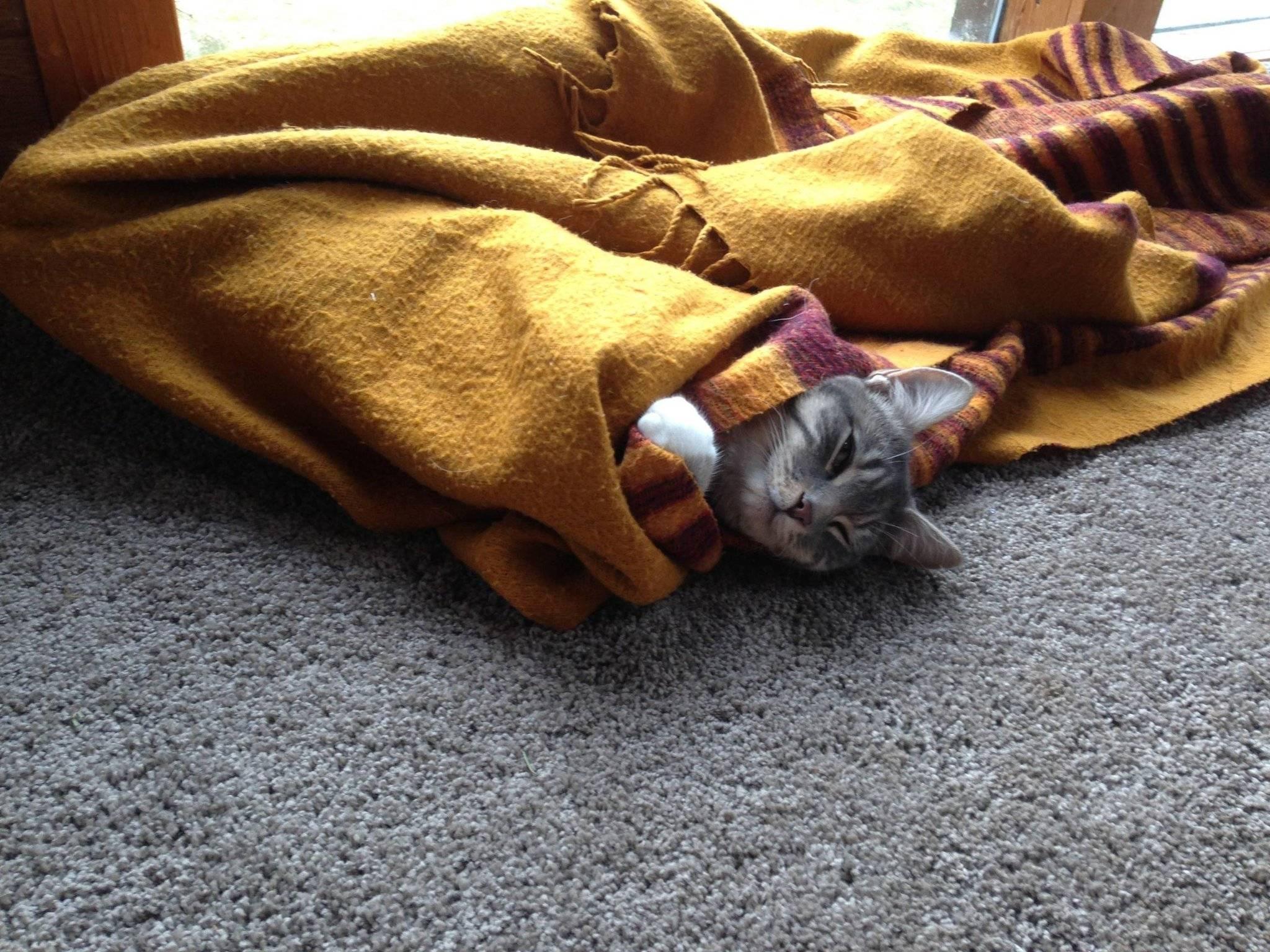 Почему кошка лезет под одеяло: все очень просто и понятно - catdogpet