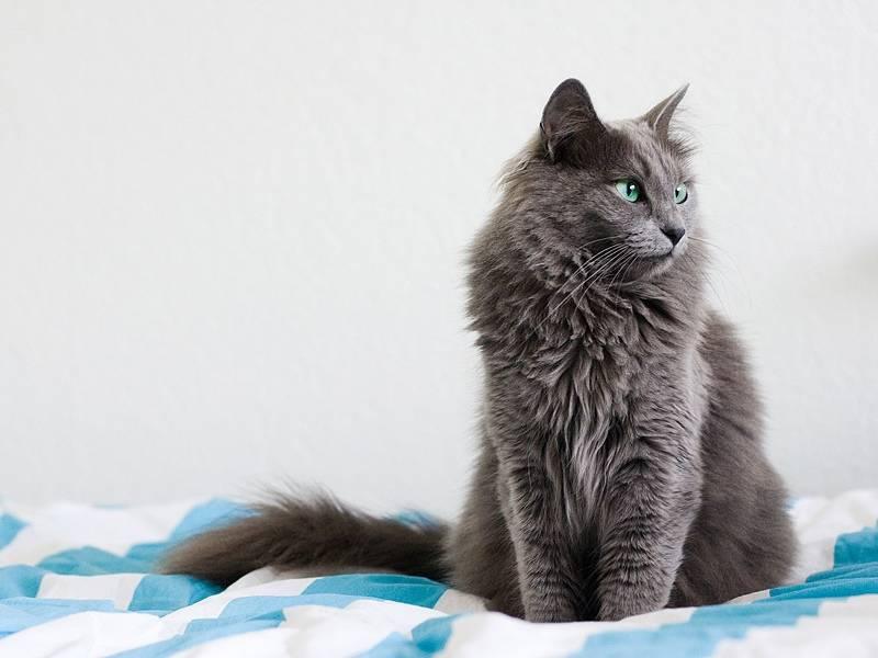 Кошка русская голубая: описание породы, фото, особенности ухода и содержания, разведение котов, выбор котенка, отзывы владельцев