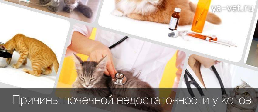 Почечная недостаточность у кошек симптомы лечение острой и хронической форм