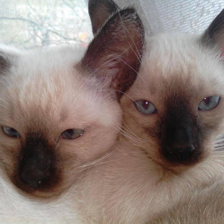Сиамская кошка: подробное описание, фото, купить, видео, цена, содержание дома