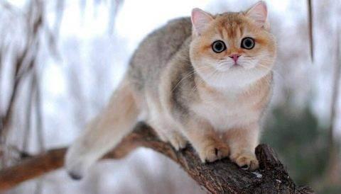 Британские кошки — описание породы