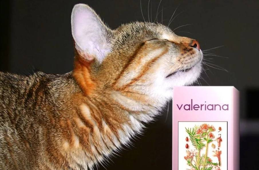 Валерьянка для кошек: чем привлекательна и можно ли давать питомцу