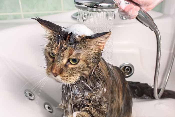 Как часто можно мыть котов и от чего это зависит?