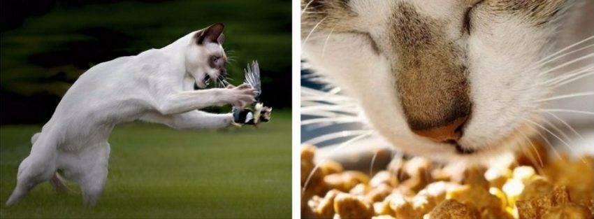 У кота выпадают усы или о проблеме потери вибриссов