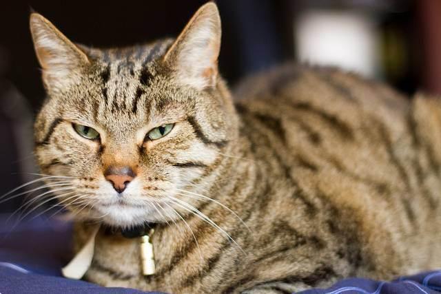 Британский кот сильно линяет, что делать?
