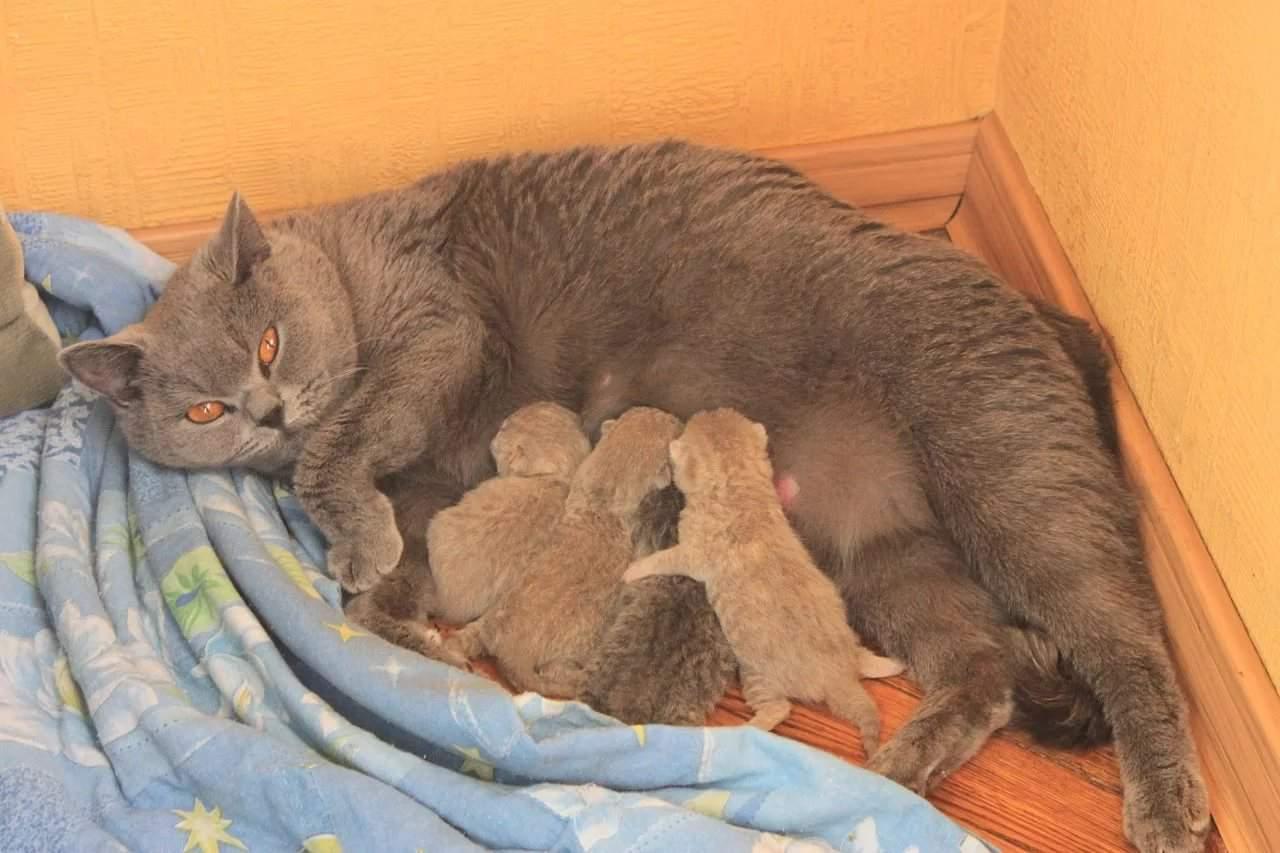 Сколько котят рожает кошка первый раз?