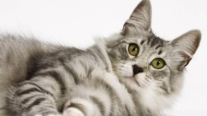 Можно ли вязать британского кота и шотландскую вислоухую кошку, что скажут гены?