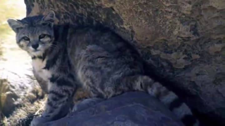 Лесной кот. образ жизни и среда обитания лесного кота   животный мир