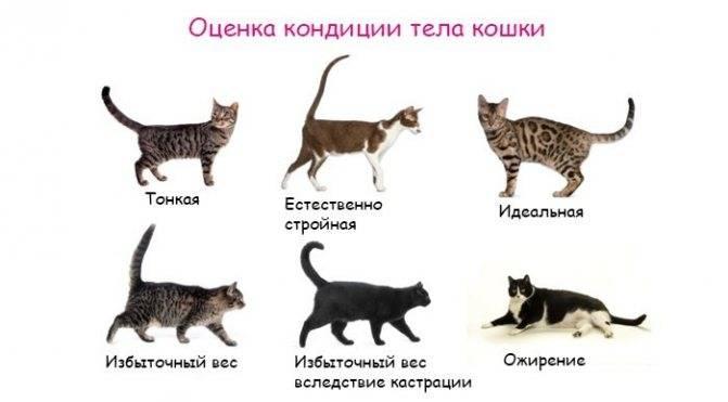 Размеры сибирской кошки