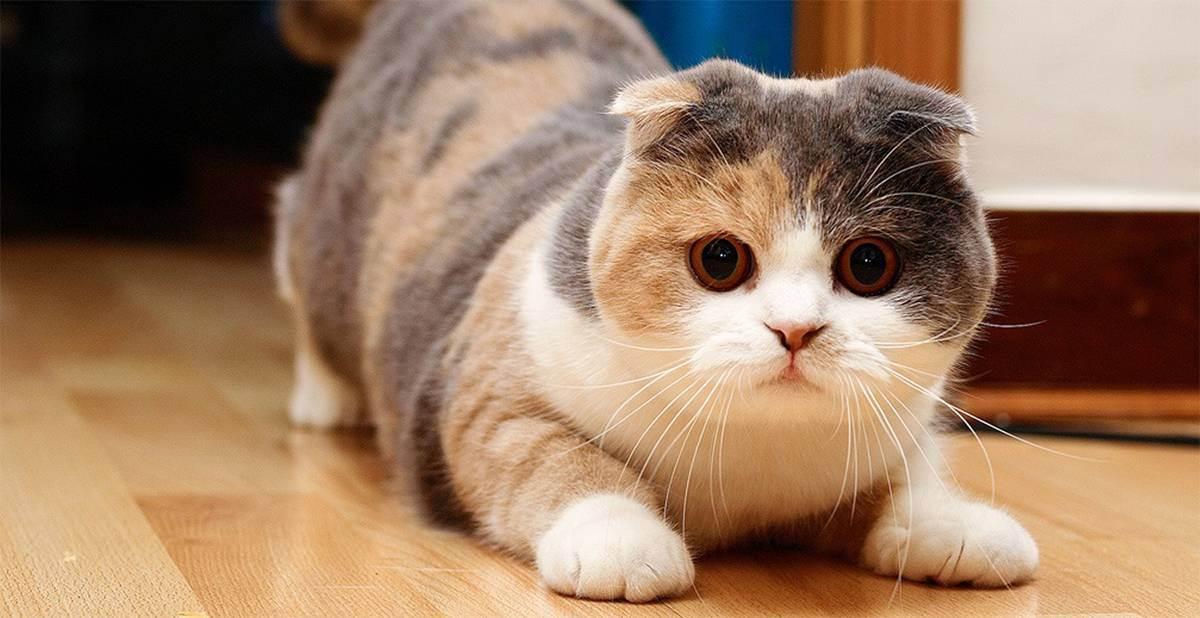 Остеохондродисплазия у шотландских вислоухих кошек: признаки и лечение.