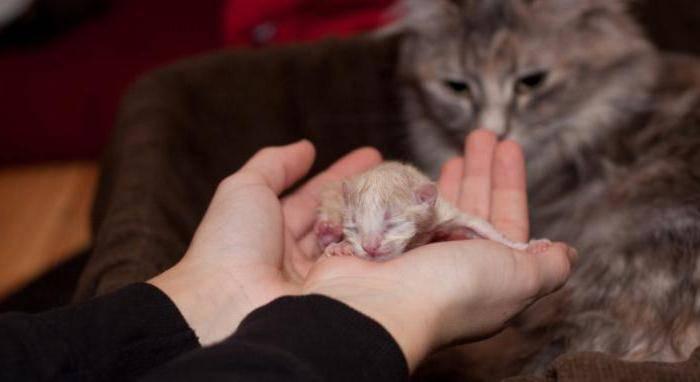 Осложнения у кошки после родов: виды, признаки, лечение
