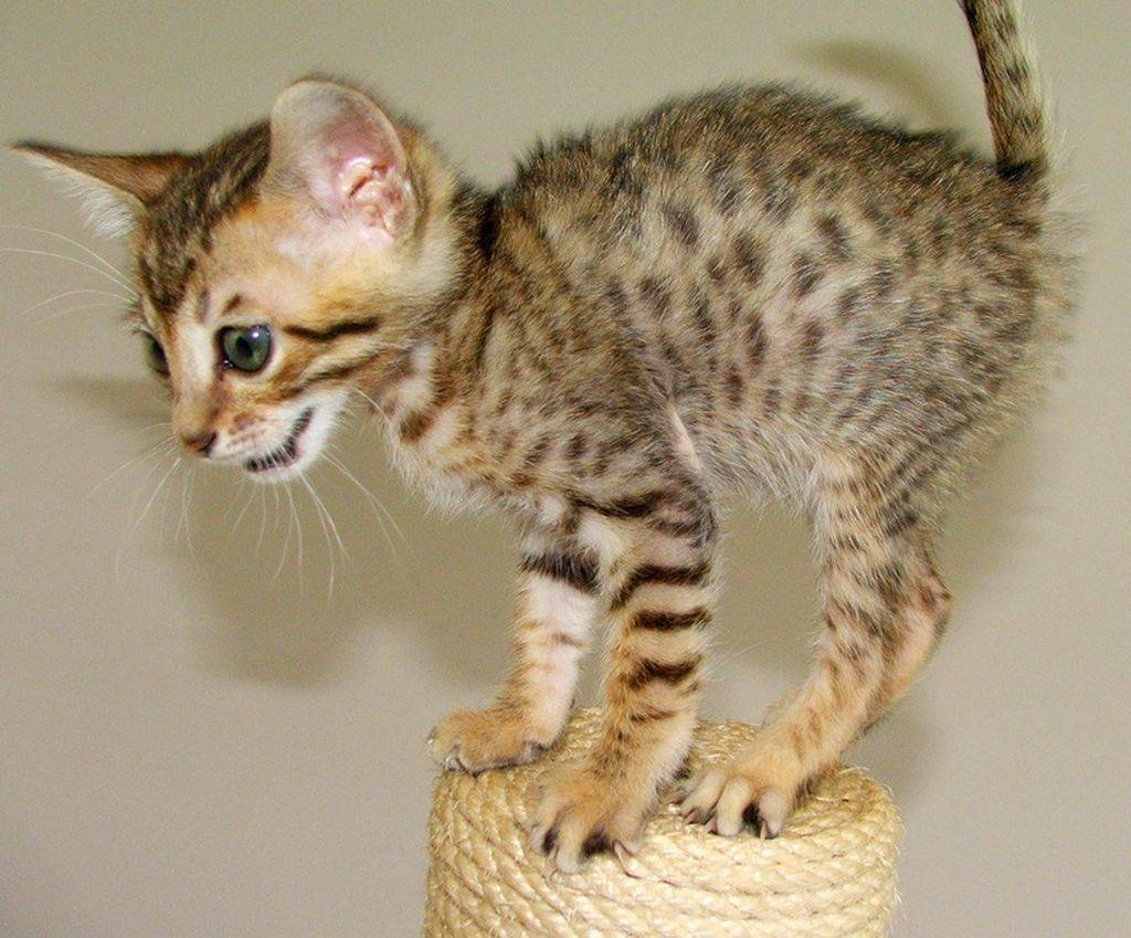 Экзотическая кошка породы саванна