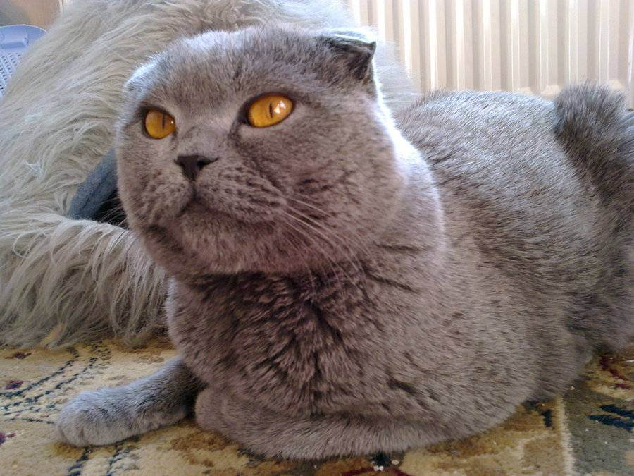 Почему британские кошки и коты не любят сидеть на руках: основные причины