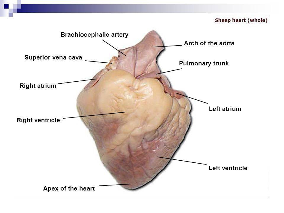 Анатомия кошки: внутренние органы, строение с фото и схемами