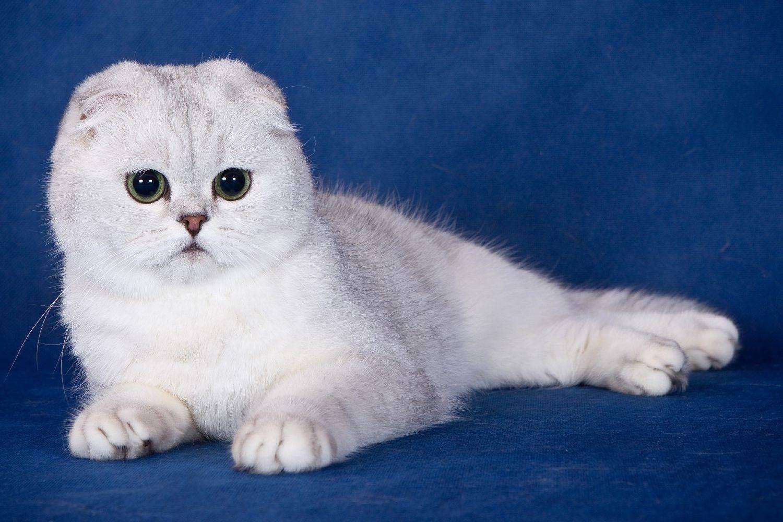 Шотландская кошка (скоттиш страйт, фолд): описание породы, содержание питомца