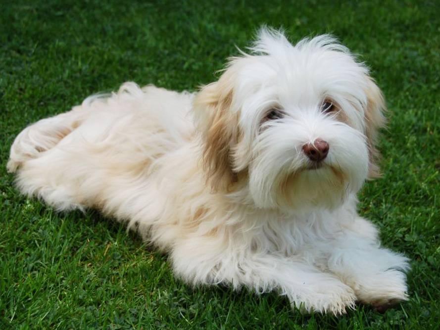 Гаванский бишон – декоративная порода собак ее характеристика и тонкости содержания
