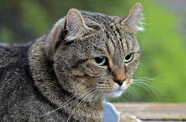 Британская длинношерстная кошка (хайлендер): фото, цена