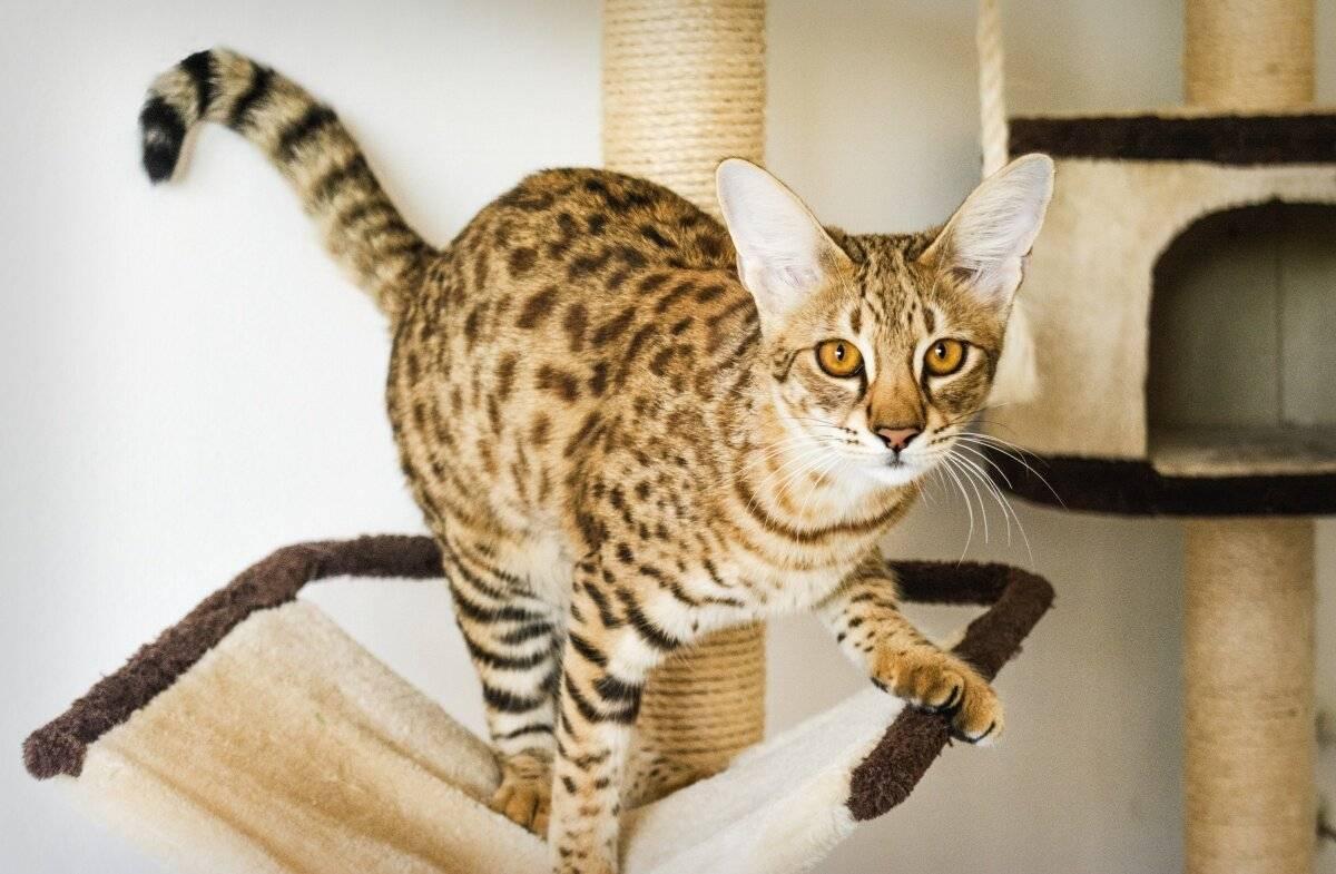 Пятнистые породы кошек: фото, описание, происхождение.