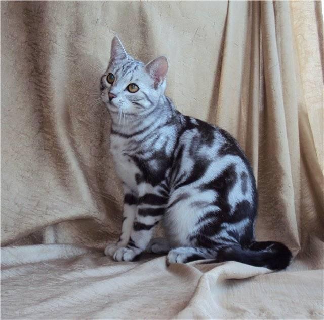 Окрас табби у кошек – макрель, или тигровый, классический и пятнистый: какие породы могут его иметь?