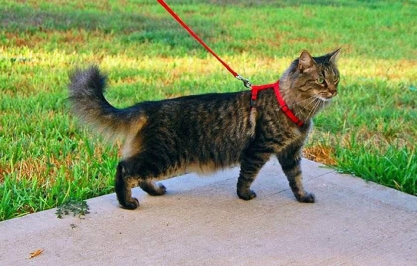 Прогулки с кошкой. что нужно знать
