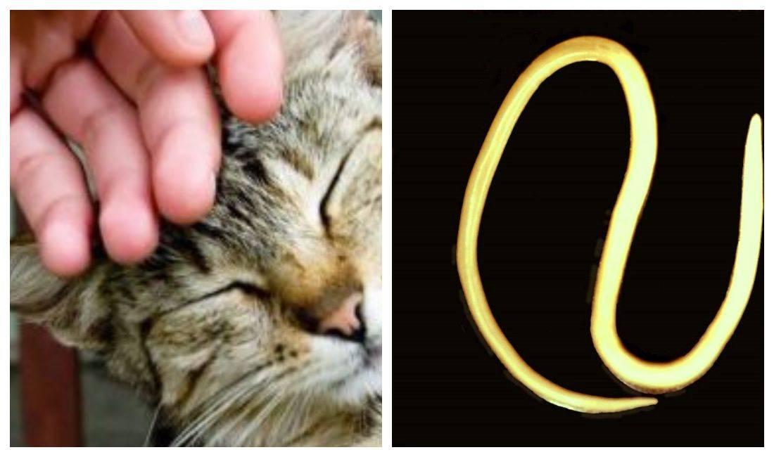 Можно ли заразиться от кошки глистами человеку | tsitologiya.su