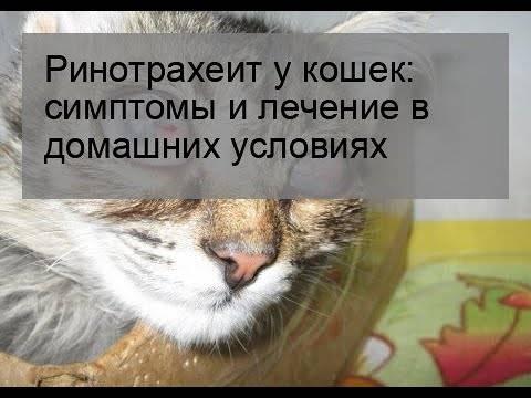 Ринотрахеит у кошек: симптомы и лечение ринотрахеит у кошек: симптомы и лечение