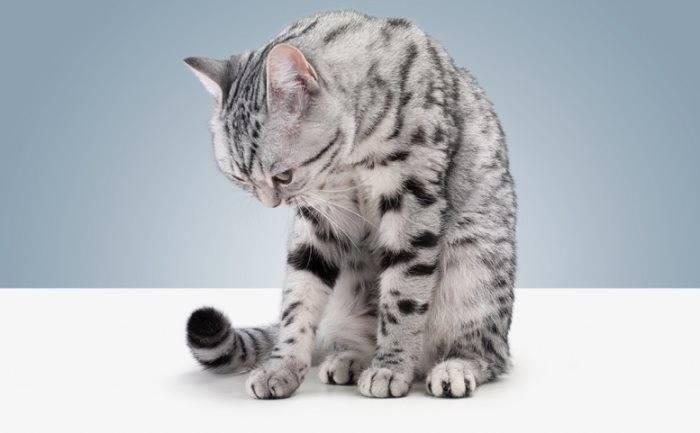 Возможные причины кашля и охриплости у кошки: что делать и как помочь