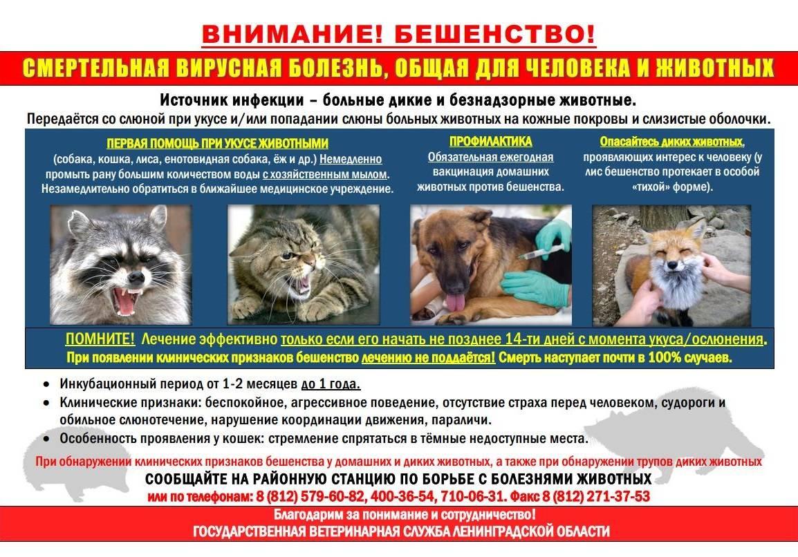 Бешенство у кошек: симптомы и лечение