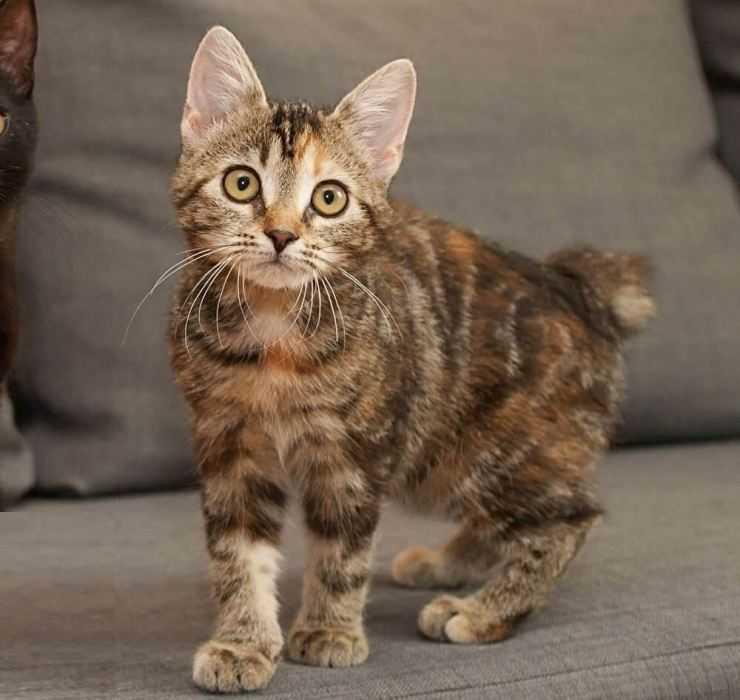 Кошка породы мэнкс: описание внешности, характер, цена и советы по правильному уходу (115 фото)