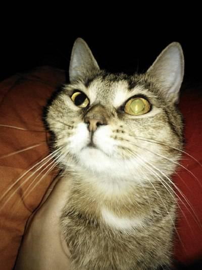 У кошки опухла губа: диагноз и лечение. опухшая нижняя губа у кошки лечение