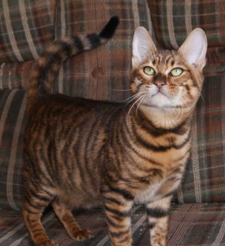 Тойгер: все о кошке, фото, описание породы, характер, цена