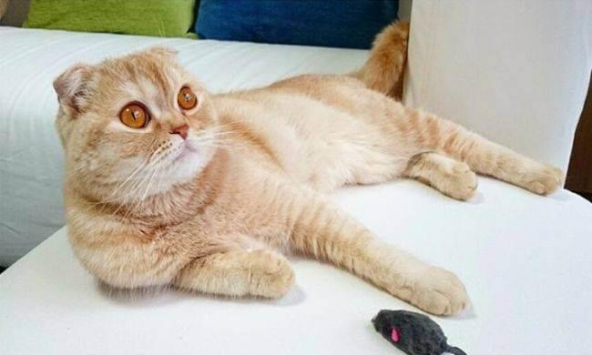 Скоттиш фолд – кошка с «детским выражением» мордочки