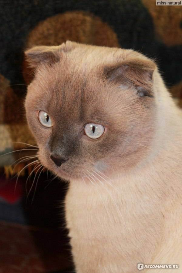 Блю поинт шотландский кот фото